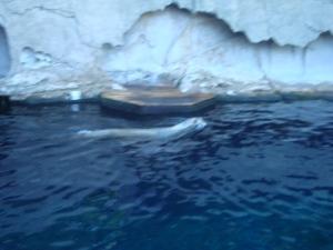 A baluga whale